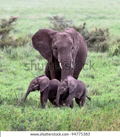 A unique female elephant with two of the young in the Serengeti National Park - Tanzania, Africa - stock photo