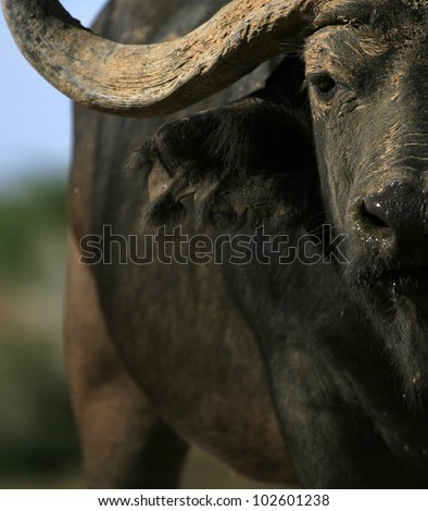 A unique photo of a big Cape buffalo bull aproaching head on. Taken at a low angle to enhance his size and power.Taken in eastern cape,south africa