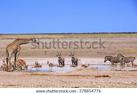 A variety of Animals - including Giraffe, Oryx, Zebra & Springbok around a vibrant waterhole in Etosha National Park - stock photo