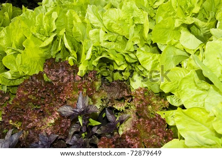A variety of green and red lettuces on wooden background - stock photo