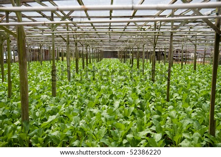 A vegetable farm growing mustard greens. Selective focus. - stock photo