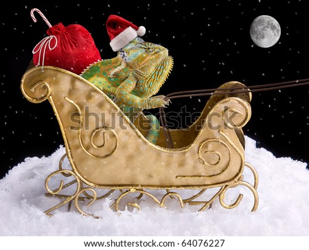 A veiled chameleon is delivering toys for Christmas in a sleigh. - stock photo