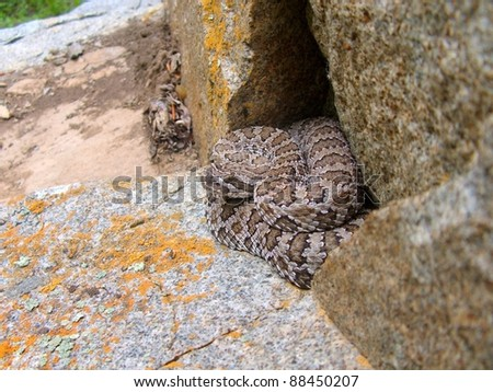 A venomous snake, the Great Basin Rattlesnake, Crotalus oreganus lutosus, hiding in a rock cavity waiting for prey in ambush position - stock photo