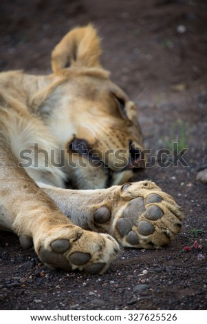 A vertical, close up, cropped, colour photograph of a sleeping lioness, Panthera leo, with her face just out of focus behind her in-focus front paws, in Mashatu Game Reserve, Botswana. - stock photo