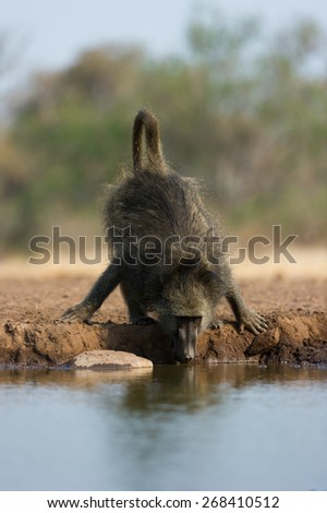 A vertical, colour photo of a baboon leaning down to drink. - stock photo