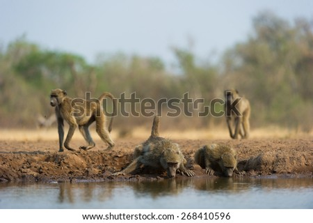 A vertical, colour photo of four baboons, two walking past and two drinking at a waterhole - stock photo
