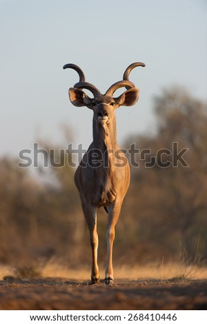 A vertical, colour photograph of a kudu bull staring directly into the camera. - stock photo
