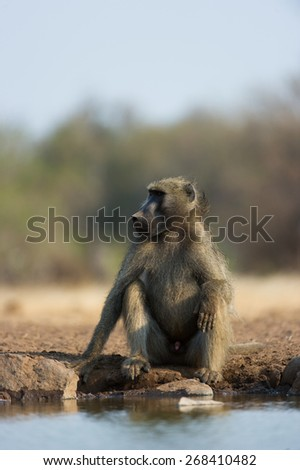 A vertical, colour photograph of a male baboon sitting pensively beside a waterhole. - stock photo