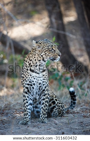 A vertical, full length, colour photograph of an agitated leopard, Panthera pardus, sitting and listening at Elephant Plains, Sabi Sands Game Reserve, Mpumalanga province, South Africa. - stock photo