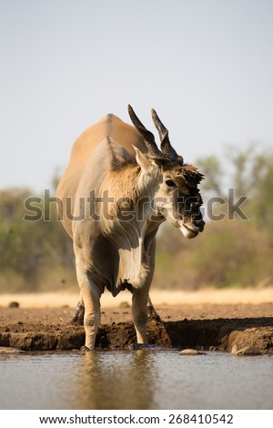 A vertical, low angle, colour photo of an eland bull, front feet submerged in the waterhole. - stock photo