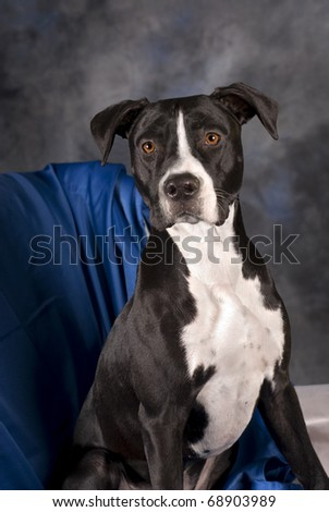 A vertical portrait of a 10 month old black and white pit bull terrier against a blue background. - stock photo