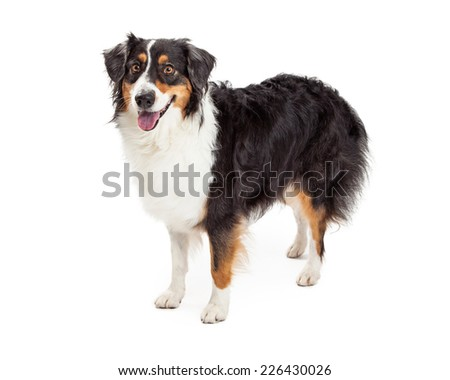 A very alert Australian Shepherd Dog standing at an angle while looking off to the side.