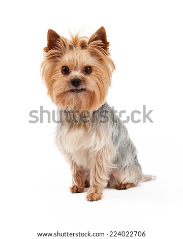 A very attentive Yorkshire Terrier dog sitting and looking directly into the camera - stock photo