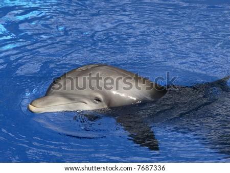 A very cheerful Dolphin in captivity - stock photo
