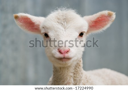 a very cute and adorable few day old lamb