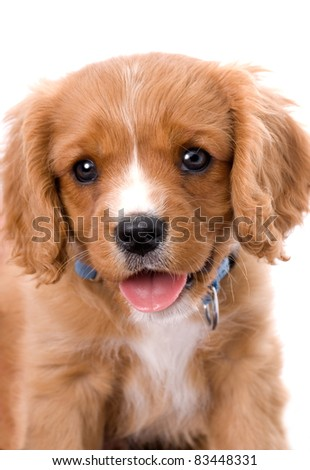 A very cute close-up headshot of a six week old King Charles Cavalier Puppy