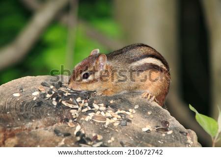 A Very Cute Eastern Chipmunk Dining On Bird Seed, Tamias striates, Southwestern Ohio, USA - stock photo