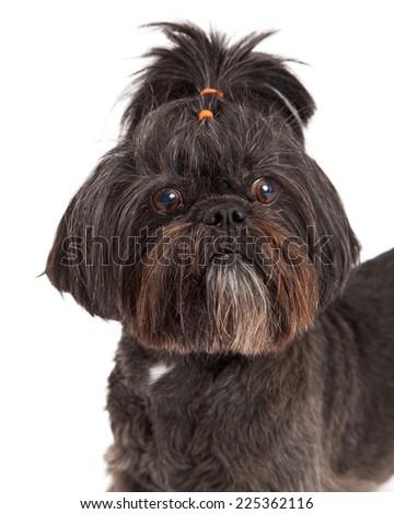A very cute Mixed Breed Small Dog headshot. - stock photo