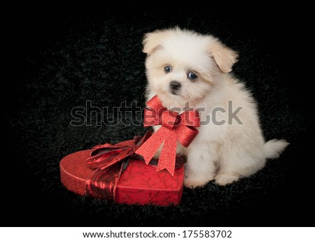 A very cute puppy sitting on a black background with a box of chocolate, with copy space. - stock photo