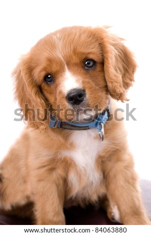 A very cute six week old King Charles Cavalier Spaniel puppy tilting his head in a quizzical way against a 255 white background. - stock photo