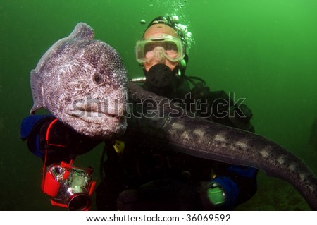 A very docile wolf eel with a diver.