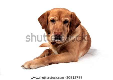 A very handsome Golden Lab in front of a white background - stock photo