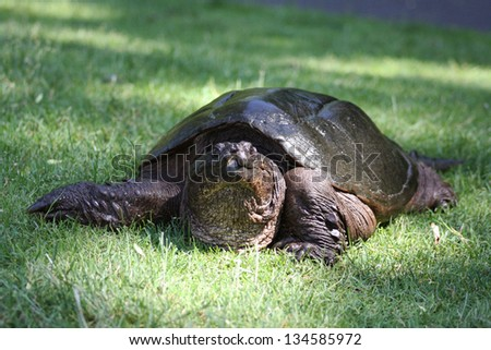 A Very Large Common Snapping Turtle, (Chelydra Serpentina) on his way Through the Grass in the Early Spring