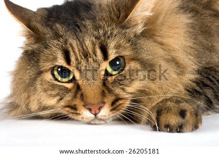 A very large friendly cat on white