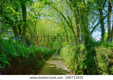 A very narrow Cornish country lane with steep banks and bluebells, Hyacinthoides non-scripta, either side  in spring near Liskeard, Cornwall, United Kingdom