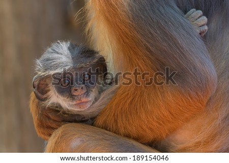 A very small baby Western Red Colobus Monkey (Piliocolobus badius) cradled in its mother's arms