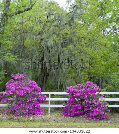 A very southern scene of Azaleas and Oaks covered with Spanish moss along a white rail fence.