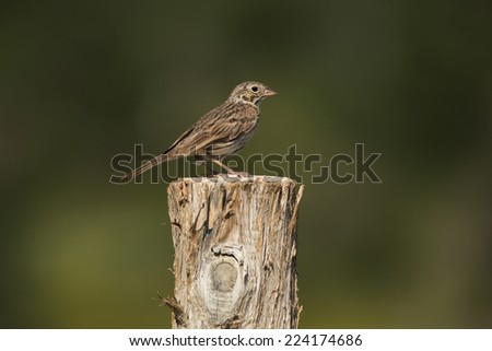 A Vesper Sparrow (Pooecetes gramineus) perches atop a fencepost at Kolob Reservoir just outside of Zion National Park, Utah. - stock photo