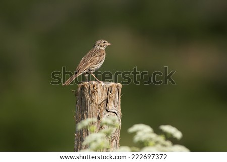 A Vesper Sparrow (Pooecetes gramineus) perches atop a fencepost at Kolob Reservoir nearby Zion National Park, Utah. - stock photo