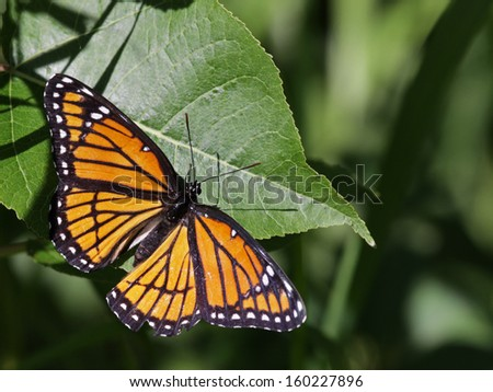 A Viceroy butterfly (Limenitis archippus) sitting on a leaf.  It is a co-mimic of the Monarch butterfly. Shot in Kitchener, Ontario, Canada.  - stock photo