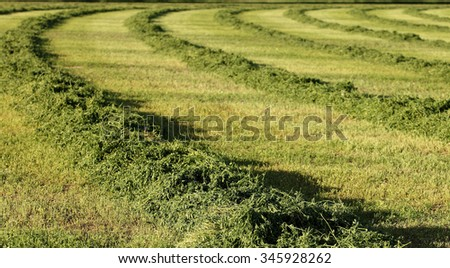 A view of a freshly cut alfalfa field to be dried and baled. - stock photo