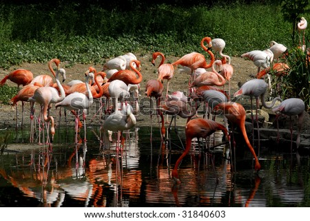 A view of a group of pink flamingo wandering by the lake