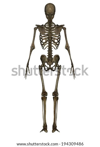 A view of a human skeleton showing human bone structure. - stock photo