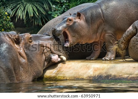 A view of a large hippopotamus with a baby hippo nearby. Species: Hippopotamus amphibius