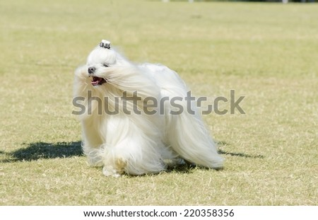A view of a small, young and beautiful Maltese show dog with long white coat running on the grass. Maltese dogs have silky hair and are hypoallergenic.