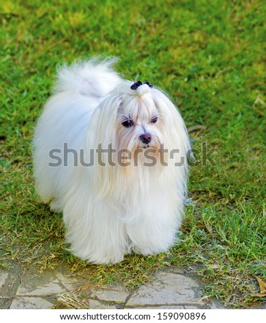 A view of a small, young and beautiful Maltese show dog with long white coat standing on the lawn. Maltese dogs have silky hair and are hypoallergenic. - stock photo