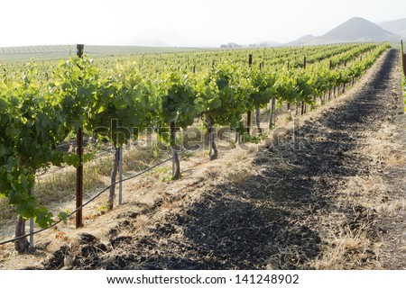 A view of a vineyard in Edna Valley with Mount Edna in the background. - stock photo