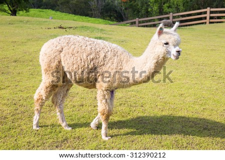 A view of an alpaca on a green field in a sunny day. - stock photo