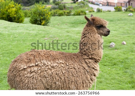 A view of an alpaca on a green field on a sunny day. - stock photo