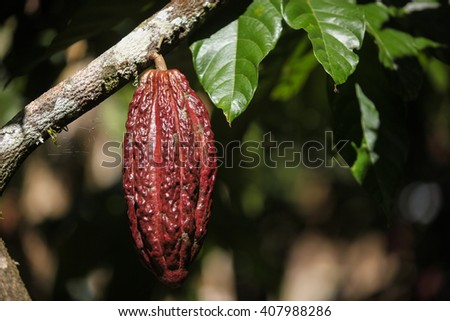 A view of growing cocoa pod on tree in Huayhuantillo village near Tingo Maria in Peru, 2011