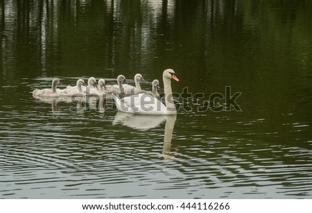A view of happy family of swans floating on the water - stock photo