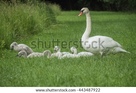 A view of happy family of swans near the old bench on the grass - stock photo