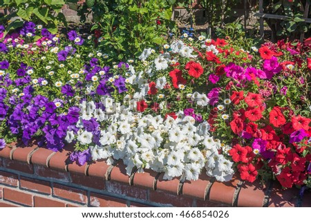 A view of red, white and purple Petunia flowers in summer time.