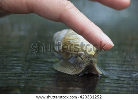 A vine snail creeps on a road in the rain.a man touches a finger - stock photo