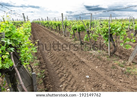 a vineyard in spring with blue sky background, - stock photo