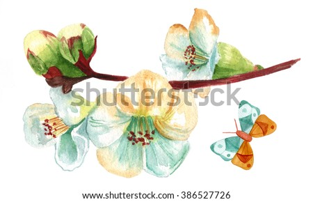 A vintage style watercolor drawing of a white flowering quince branch, with blooming flowers and buds, on white, with a butterfly